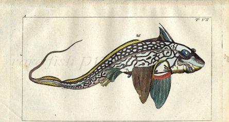 THE CHIMAERA MONSTROSA fish print