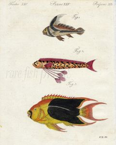 THE RIBBONFISH, HAWKEN'S FISH, TRI-COLOURED or ROCK BEAUTY FISH print
