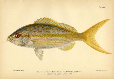 THE YELLOWTAIL SNAPPER fish print