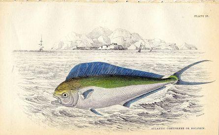 JARDINE/LIZARS - THE ATLANTIC CORYPHAENE or DOLPHIN fish print 1843