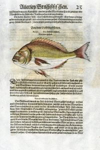 1598 GESNER FISH PRINT - THE GILT-HEAD SEA BREAM
