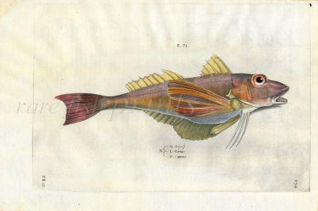 SALVIANI - THE GURNARD fish print (Coruus) 1554
