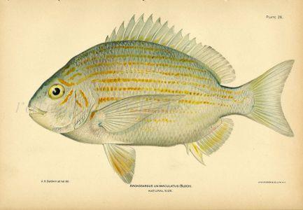 THE SHEEPSHEAD fish print
