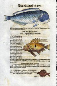 1598 GESNER FISH PRINT - THE RAZORFISH, JOHN DORY, OLAUS MAGNUS'S CENTIPEDE WHALE