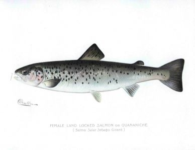 THE FEMALE LAND LOCKED SALMON print (Salmo Salar Sebago)