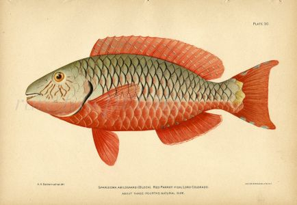 THE RED PARROTFISH print
