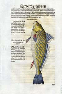 1598 GESNER FISH PRINT - THE CANARY DRUM