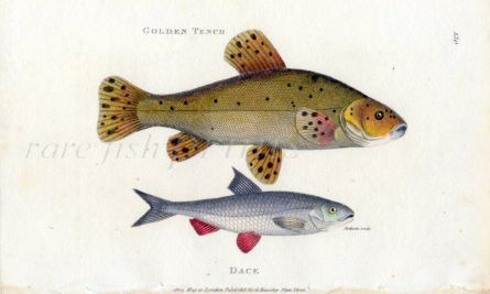 THE TENCH & DACE print