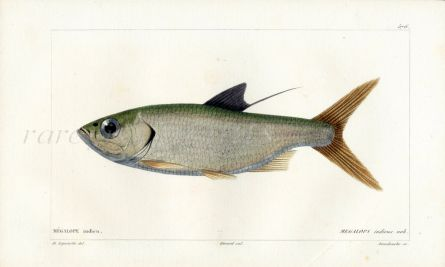 CUVIER - THE TARPON fish print