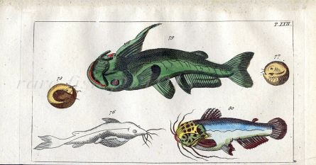 THE HORNED SILURE CATFISH print