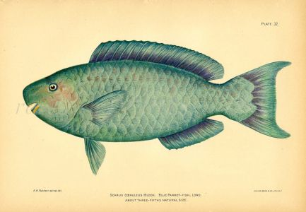 THE BLUE PARROTFISH print