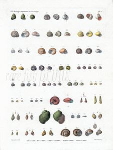 H.N. ZOOLOGIE - COQUILLES Plate 2: HELICES, BULIMES, AMPULLAIRES, PLANORBES, PALUDINES shell print