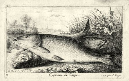 CYPRINUS LA CARP - THE CARP engraving