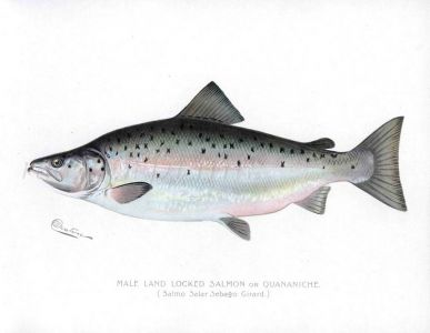 THE MALE LANDLOCKED SALMON print (Salmo Salar Sebago)