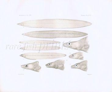 TROPICAL CONGER EELS - Garman deep sea fish print