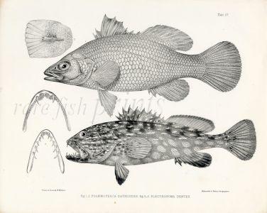 RICHARDSON - THE  SEA PERCH (BARRAMUNDI) & HARLEQUIN FISH print 1839 -1843
