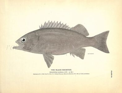 THE BLACK ROCKFISH print