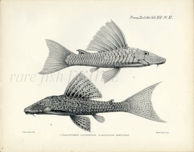 ZOOLOGICAL SOCIETY - ARMORED CATFISH print - 1904  Pl. XI (Plecostomus)