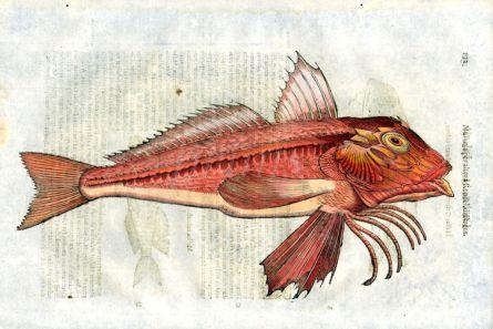 ALDROVANDI - THE RED GURNARD print (Mullus)