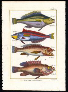 SEA CHUB, SPANISH HOGFISH print