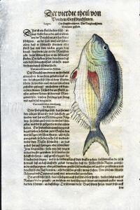1598 GESNER FISH PRINT - THE SARGO SEA BREAM