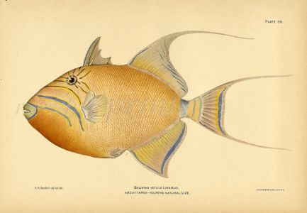 THE QUEEN TRIGGERFISH print