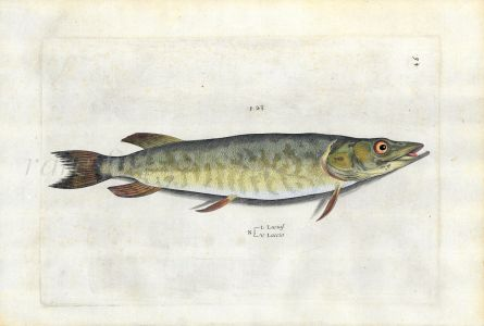 SALVIANI - THE PIKE fish print (Lucius) 1554
