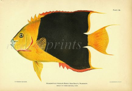 THE ROCK BEAUTY ANGELFISH print