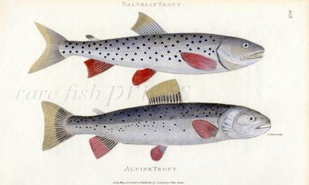 THE SALVELIN TROUT & THE ALPINE TROUT print