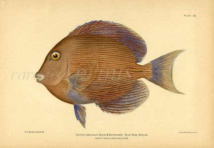 THE BLUE TANG SURGEONFISH print