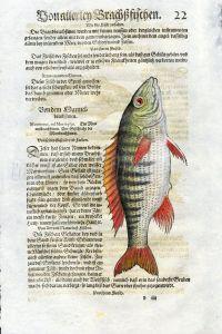 1558 GESNER FISH PRINT - THE MARINE PERCH