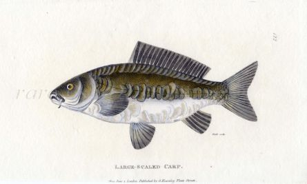 THE LARGE SCALED CARP print