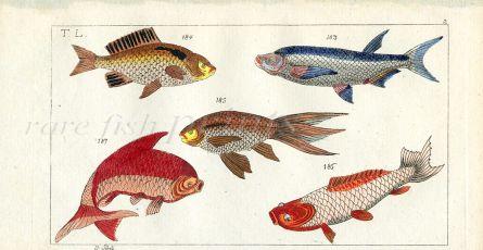 COMMON CARP & GOLDEN CARP fish print