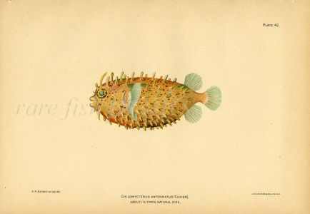 THE BRIDLED BURRFISH print