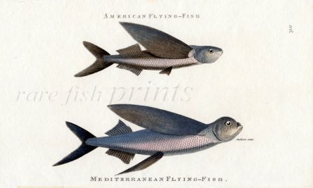 THE AMERICAN FLYING FISH & MEDITERRANEAN FLYING FISH print