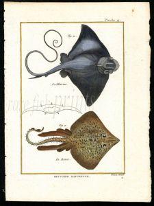THE STINGRAY & THORNBACK RAY print