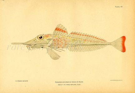 THE SLENDER SEA ROBIN fish print