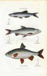 SCOTT/BUNNEY & GOLD:  BLEAK, DACE & ROACH fishing print 1801