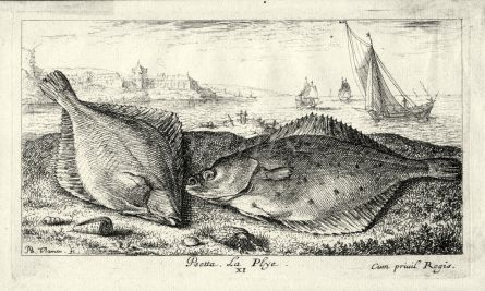 PSETTA LA PLYE - THE  PLAICE engraving