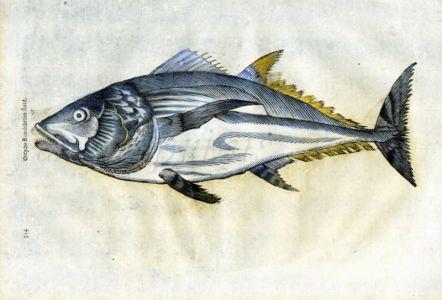 ALDROVANDI - THE BLUEFIN TUNA print (orcyno)