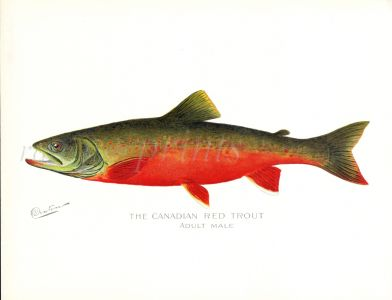 THe CANADIAN RED TROUT print (Adult male)