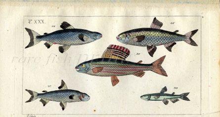 THE SALMON FAMILY/GRAYLING fish print