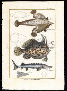 THE FROGFISH , ANGLERFISH & STURGEON print