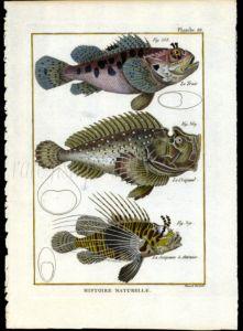 SCORPION FISH print