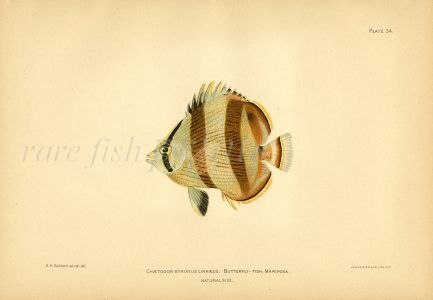 THE BANDED BUTTERFLYFISH print