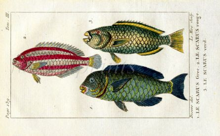 GREEN, RED STRIPED & GRECIAN PARROTFISH print
