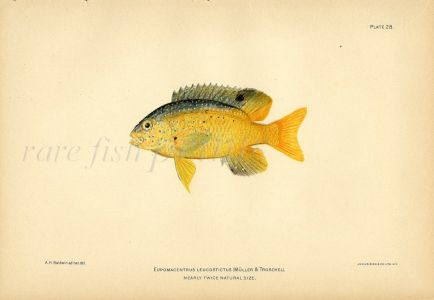 THE DAMSELFISH print