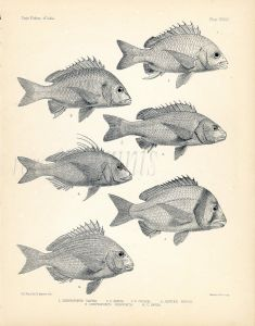 FRANCIS DAY - SNAPPER, TREVALLEY , DENTEX, SEA BREAM print (Chrysophrys, Sparidae)  1899