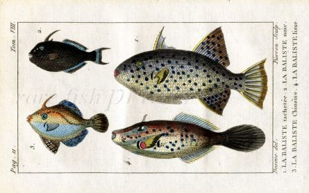 FILE & TRIGGER FISH print