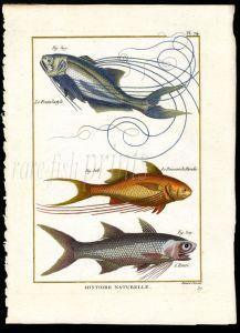THREADFIN & PARADISE FISH print